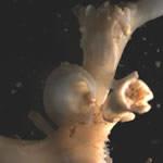 Bivalve living attached to the surface of Lophelia © R. Milligan, SAMS (2005).